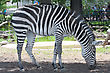 Black And White Zebra At A Local Zoo. stock photo