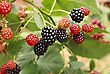 Blackberry Bush In The Garden stock photography