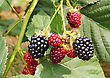 Harvesting Blackberry Bush In The Garden stock photo