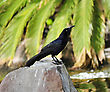Blackbird Sitting On A Stone stock photography