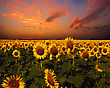 Bloody Skies, Dramatic Landscape With Sunflowers Field stock image