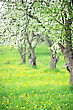 Blooming Apple Trees And Dandelions In The Garden stock photo