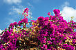 Blooming Bush With Magenta Flowers On The Blue Sky Background stock photography