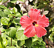 Blooming Hibiscus Flower In A Garden stock image