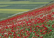 Blooming Hillside with Poppies stock image