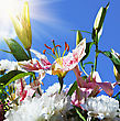 Blooming Lilies And Peonies On A Background Of Blue Sky. Focus On The Lily Bud