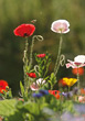Blooming Poppy Flowers stock photo