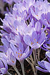 Blooming Purple Crocus Flowers stock photo