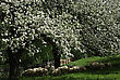 Blossom Apple Tree Behind The Wooden Fence Next To The Dirt Country Road stock photo