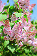 Offocus Blossoming Branch Of Pink Lilac On Of-focus Summer Background. Close-up stock image