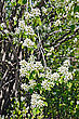 Blossoming Branch Of A Tree Shadberry On A Background Shadberry Trunk And Branches