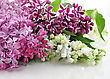Blossoming Lilac On White Background stock photo