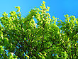 Blossoming Mountain Ash On A Blue Sky Background stock image