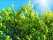 Blossoming Mountain Ash And Sunlight On A Blue Sky Background stock image