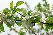 Blossoming Tree Brunch With White Flowers On Bokeh Green Backgroundblossoming Tree Branch Apple With White Flowers
