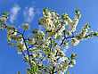 Blossoming Tree With White Flowers On Blue Sky Background stock photo