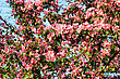 Blossoming Tree With Pink Beautiful Flowers stock photography