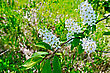 Blossoming Twig Bird Cherry On A Background Of Green Grass stock photo