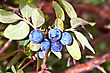 Blue Berry Honeysuckle Against The Background Of Green Leaves And Brown Branches