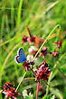 Blue Butterfly On Red Flower stock image