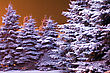 Blue Firs Covered With Snow In The Warm Light stock photo