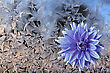 Blue Flower Against Ice On Window stock photo