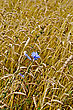 Cornfield Blue Flowers Of Chicory In A Background Of Wheat Ears stock image