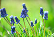 blue flowers with spring green grass on the background.jpg stock photo