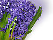 Blue Hyacinth Flowers , Close Up Shot For Background stock photography