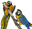 Blue Macaw Parrots On White Background stock photo