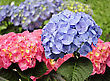 Blue And Pink Hortensia Flowers, Close Up stock photo