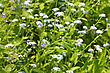Flowers Blue Spring Flowers On Meadow stock photo
