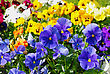 Blue, Yellow, White And Red Violas In The Sunny Spring Garden stock photography