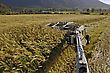 Boom On A Mower Harvests A Crop Of Triticale For Silage On A Dairy Farm, West Coast, New Zealand