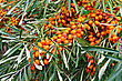 Branch With Berries Of Sea Buckthorn On A Background Of Green Leaves