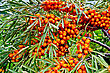 Branch With Berries Of Sea Buckthorn And Green Leaves On A Background Of Grass And Sky stock image