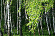 Branch Of A Birch Tree With Green Foliage In A Summer Forest stock photography