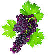 Fruitful Branch Of Black Grapes With Green Leaf. Isolated Over White stock image