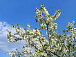 Branch Of Blossoming Tree On Blue Sky Background stock photo