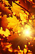 Branch Of Bright Autumn Maple Foliage With Sunlight stock photo
