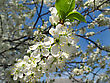 Branch Of A Flowering Fruit Tree With Beautiful White Flowers stock photo