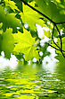 Sunlight Branch Of Fresh Green Maple Foliage With Water Ripples stock image