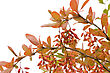 Branch Of Barberry Autumn Background stock photo