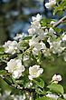 Branch Of Blossoming Apple In The Spring stock photo