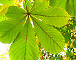 Branch Of Chestnut Tree stock photo