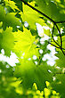 Branch Of Green Maple Foliage stock photo