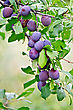 Branch With Purple Plums On A Background Of Green Leaves And Grass stock photography