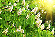 Branches Of Blossoming Chestnut Tree With White Flowers And Sun Beams stock photography