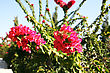 Branches Of Bougainvillea Flowers In Tropical Garden. stock photography
