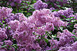 Branches Of Beautiful Blossoming Lilac stock photo